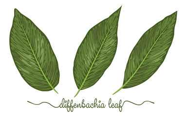 Leaves of diffenbachia elements set. Botany hand drawn graphic illustration. Collection of diffenbachia foliage on a white background.