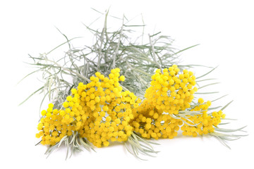 Yellow helichrysum flowers