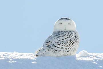 Wall Mural - Snowy Owl in Snow Looking at Camera