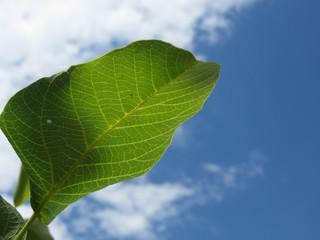 Closeup of walnut leaf lit by sunlight against the blue sky