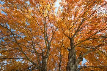 Yellow Maple Tree in Autumn