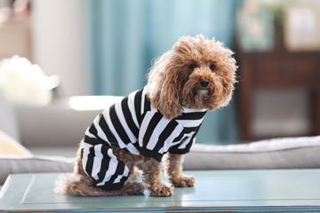 Bichon Poodle in Prisoner Costume