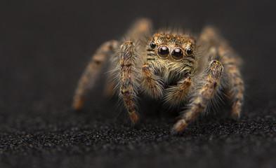 Ragno saltatore / Salticidae