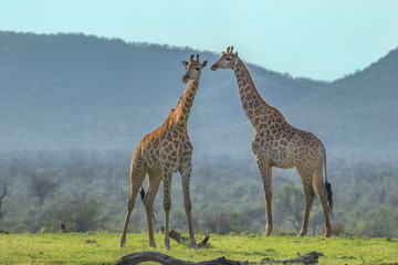 PORTRAIT OF TWO GIRAFFES AT SOUTH AFRICA