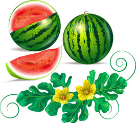 Watermelon, leaves and watermelon flowers.