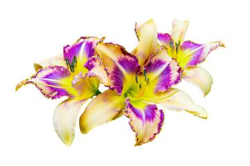 Beautiful multicolored daylily (Hemerocallis) isolated on white