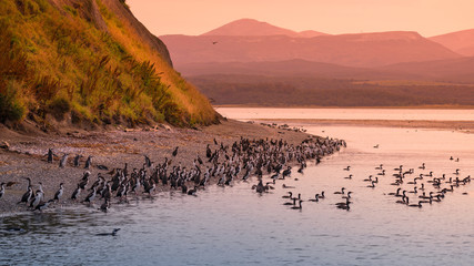 Colony of king cormorants at Beagle Channel, Patagonia Fotoväggar