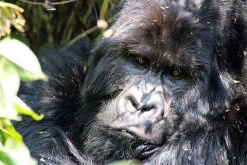 Wilde Berggorillas im Urwald von Uganda Afrika