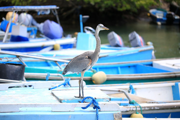 Grand Héron bleu des iles Galapagos