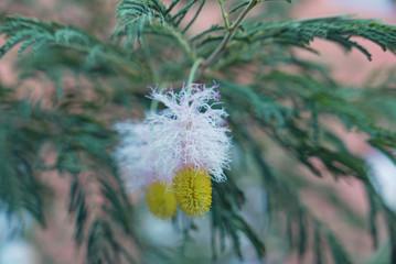 Blüte am Farbkätzchenstrauch (Dichrostachys cinerea)