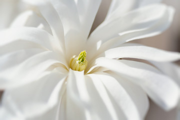 Close up of a star magnolia flower.