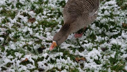 Oie cendrée se nourrissant d'herbe dans le Parc de La Tête d'Or sous la neige à Lyon.