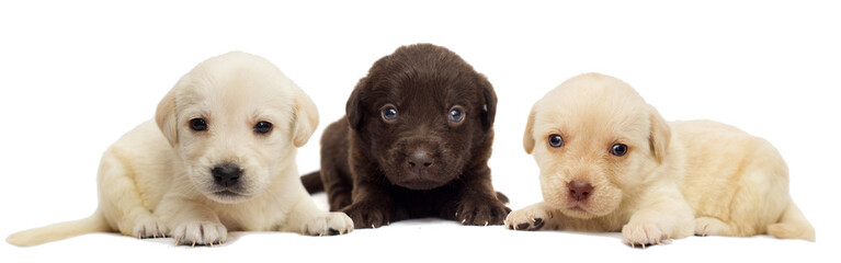 small labrador puppy on white background
