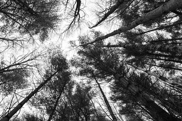 Black and White of Tall Trees in Asheville North Carolina