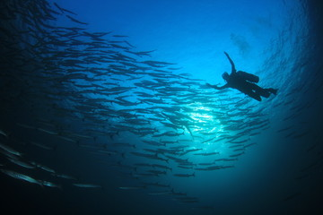 Scuba divers barracuda fish in ocean