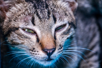 A Cat of photo. Beautiful cat. A cat have gray hair  and seeing on it. A cat Thailand .