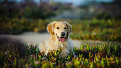 Golden Retriever dog lying down in field of ice plant