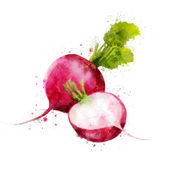 Radish on white background. Watercolor illustration