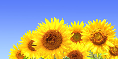 Wall Mural - Sunflowers on blue sky background