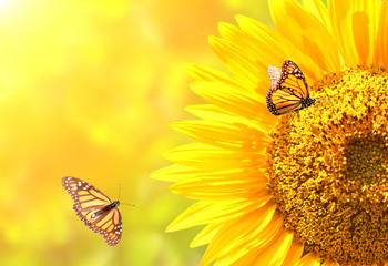 Wall Mural - Sunflower and monarch butterflies on blurred sunny background
