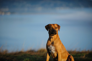 Rhodesian Ridgeback dog outdoor portrait sitting in field overlooking foggy water