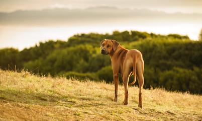 Rhodesian Ridgeback dog outdoor portrait standing on hillside overlooking water