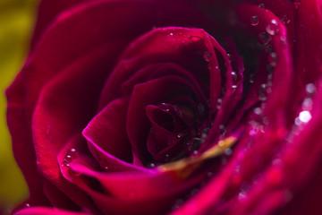 macro photography roses