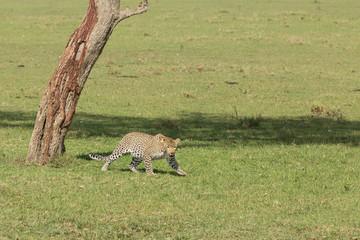 a leopard runs on the grasslands of the Maasai Mara, Kenya