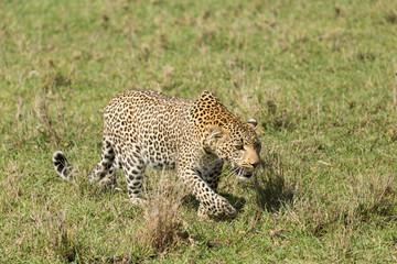a leopard walks through the grasslands of the Maasai Mara, Kenya
