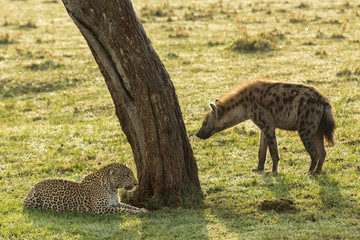 a standoff between a reclining leopard and a hyena on the grasslands of the Maasai Mara, Kenya