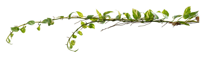 Plant tropical foliage vine, Ivy green hang isolated on white background, clipping path Wall mural