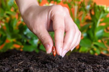 woman's hand planting a bean seed in soil. Closeup