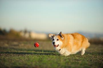 Welsh Pembroke Corgi dog outdoor portrait running in field after red ball