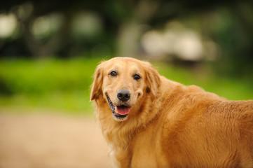 Golden Retriever dog outdoor portrait in the park