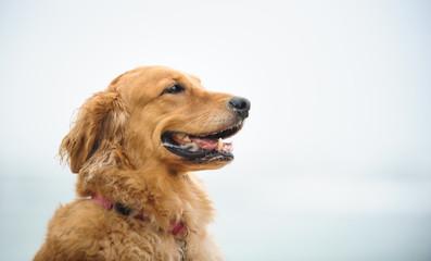 Golden Retriever dog outdoor portrait head shot