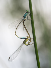 Paarung von zwei Libellen (Kleinlibellen) an einen Grashalm.