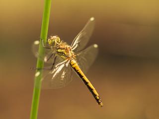 Seitliche Ansicht einer Libelle an einen Grashalm. Ansicht von der Seite. Freigestellt vor gelben Hintergrund.