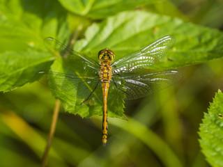 Eine gelbe Libelle sitzt mit weit ausgebreiteten Flügeln  auf einen grünen Blatt. Aufnahme von oben.
