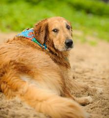 Golden Retriever dog outdoor portrait lying down in sand wearing bandanna