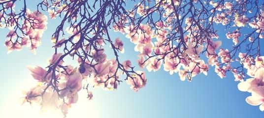 Wall Murals Magnolia Magnolien Blüte im Frühling