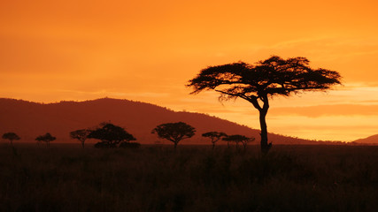 African golden sunset with Acacia tree in Serengeti Tanzania