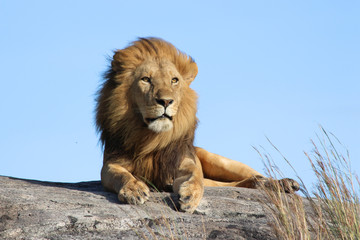 Male lion on the rocks in Serengeti National park Tanzania