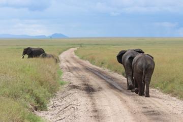 Elephants crossing the road in Serengeti National park Tanzania