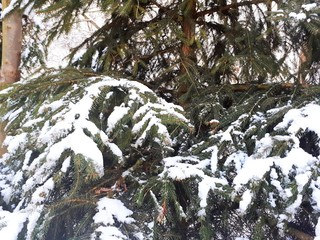 macro snow and icicles on the branches of coniferous tree, spruce, pine