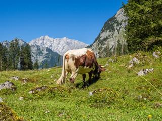 Kuh auf einer Alm in den Alpen