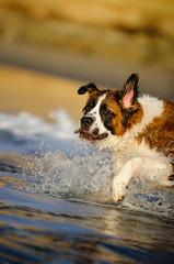 Saint Bernard dog outdoor portrait running in ocean water