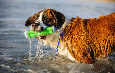 Saint Bernard dog outdoor portrait in water with toy bumper