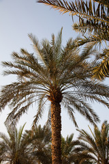 Date palm in Dubai