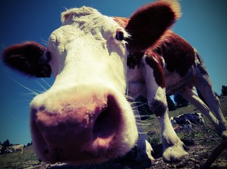 cow in the mountains photographed with fisheye lens