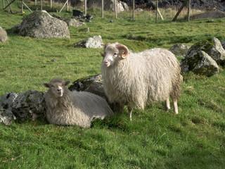 Schafe auf den Färöer Inseln